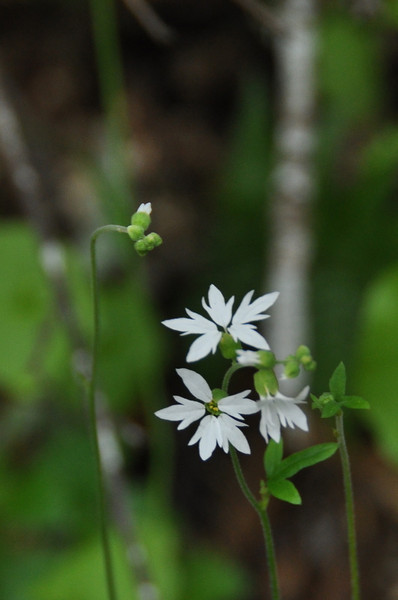 Name: Hill Star, Woodland Star (Lithophragma heterophyllum)<br /> Location: Edgewood County Park<br /> Date: March 14, 2009