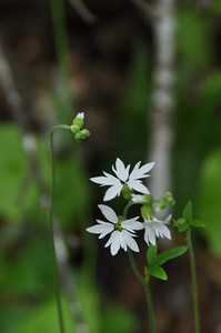 Name: Hill Star, Woodland Star (Lithophragma heterophyllum) Location: Edgewood County Park Date: March 14, 2009