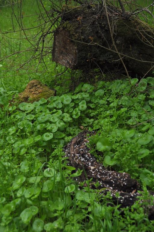 MINER'S LETTUCE SSP. PERFOLIATA<br /> Claytonia perfoliata ssp. perfoliata<br /> Portulacaceae (Purslane)