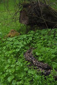 MINER'S LETTUCE SSP. PERFOLIATA Claytonia perfoliata ssp. perfoliata Portulacaceae (Purslane)