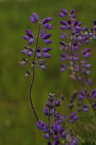 LUPINE, SILVER BUSH<br /> Lupinus albifrons var. albifrons<br /> Fabaceae (Legume, Pea)