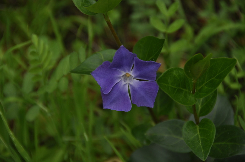 Name: Periwinkle (Vinca minor)<br /> Location: Edgewood County Park <br /> Date: March 14, 2009<br /> Notes: Dogbane family