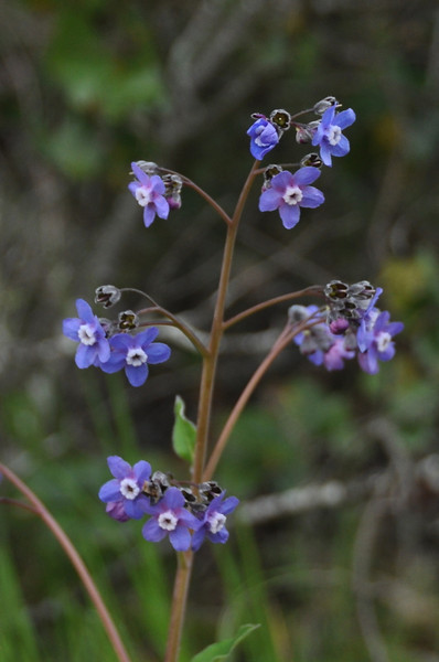 Name: Hounds Tongue (Cynoglossum grande)<br /> Location: Edgewood County Park<br /> Date: March 14, 2009