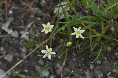 MUILLA, COMMON/SEA Muilla maritima Liliaceae (Lily)