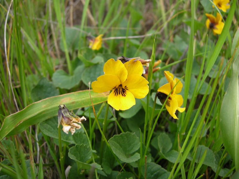 Name: Johnny Jump Up, Yellow Pansy, California Golden Violet (Viola pedunculata)<br /> Location: El Toro Peak<br /> Date: April 5, 2008