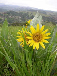 Name: Mule Ears (Wyethia glabra) Location: El Toro Peak, Morgan Hill Date: April 5, 2008