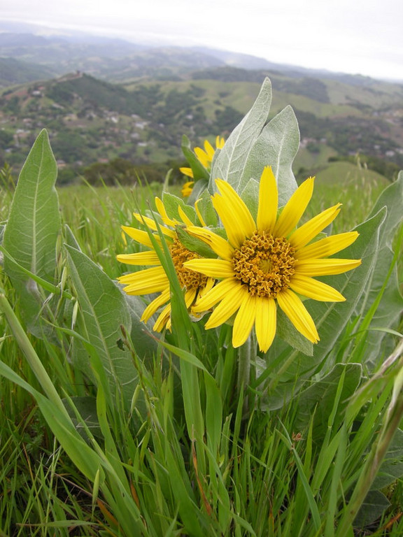 Name: Mule Ears (Wyethia glabra)<br /> Location: El Toro Peak, Morgan Hill<br /> Date: April 5, 2008