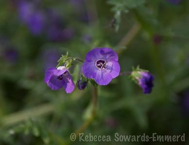 Blue Fiesta Flower