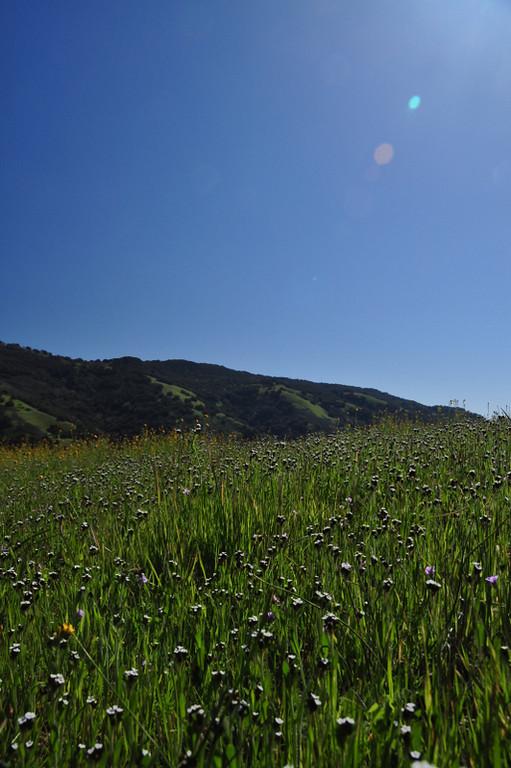 Field of popcorn flower