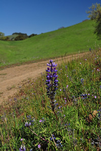 Name: Arroyo Lupine (Lupinus succulentus) Location: Harvey Bear Ranch Date: March 28, 2009
