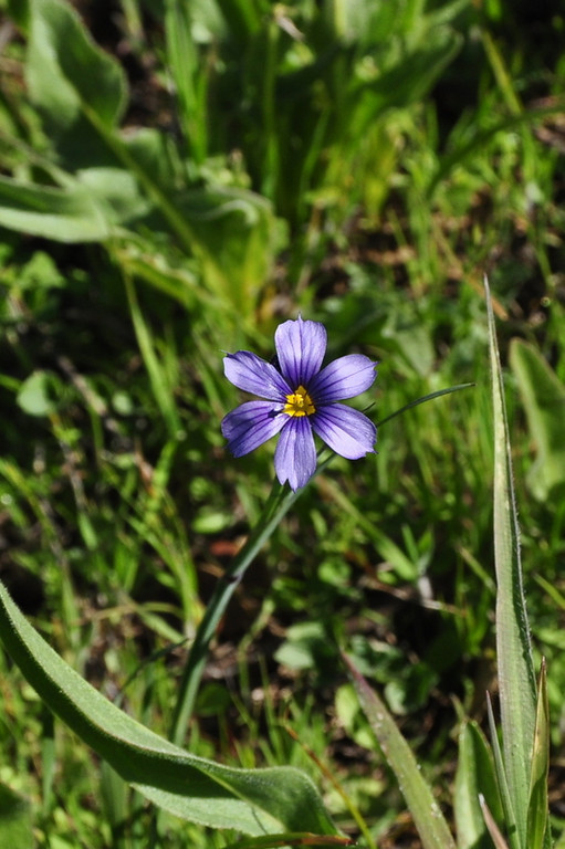 Name: Blue-eyed Grass (Sisyrinchium bellum)<br /> Location: Harvey Bear Ranch<br /> Date: March 28, 2009