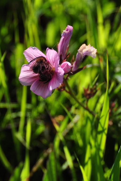 Name: Common Checkerbloom (Sidaicea malvaeflora)<br /> Location: Harvey Bear Ranch<br /> Date: March 28, 2009