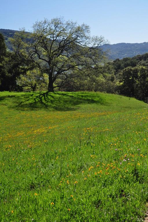Field of fiddleneck