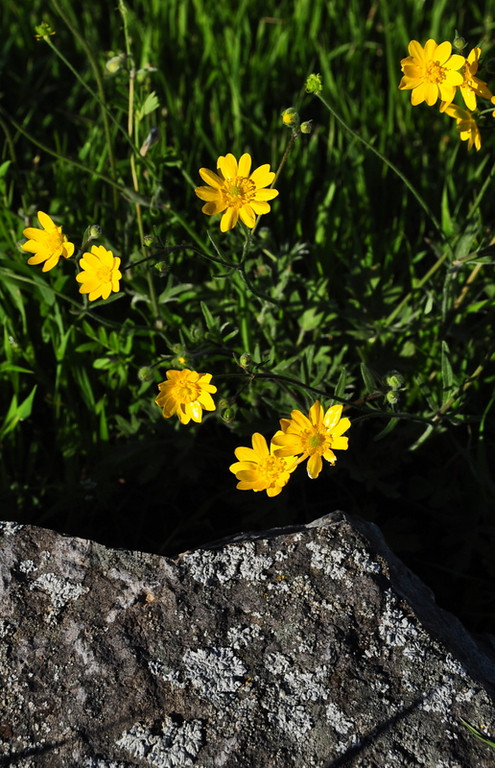 Name: California Buttercup (Ranunculus californicus)<br /> Location: Harvey Bear Ranch<br /> Date: March 28, 2009