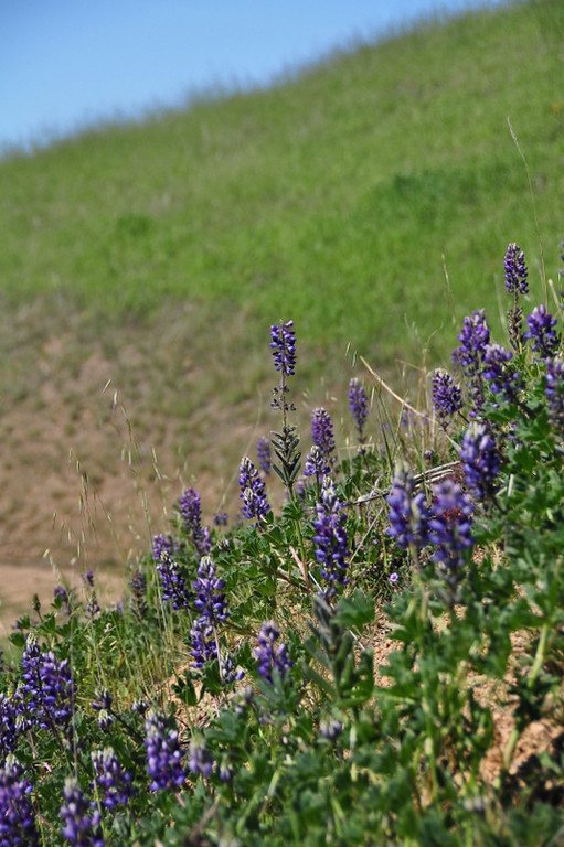 Name: Arroyo Lupine (Lupinus succulentus)<br /> Location: Harvey Bear Ranch<br /> Date: March 28, 2009