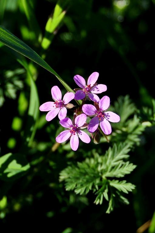 Name: Red-stem Filaree (Erodium cicutarium)<br /> Location: Harvey Bear Ranch<br /> Date: March 28, 2009