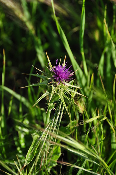 Name: Milk Thistle (Silybum marianum)<br /> Location: Harvey Bear Ranch<br /> Date: March 28, 2009