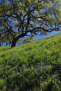 Oak and Lupine
