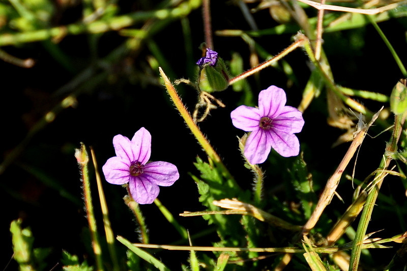 Name: Long-Beaked Storksbill, Broadleaf Filaree (Erodium botrys)<br /> Location: Harvey Bear Ranch<br /> Date: March 28, 2009