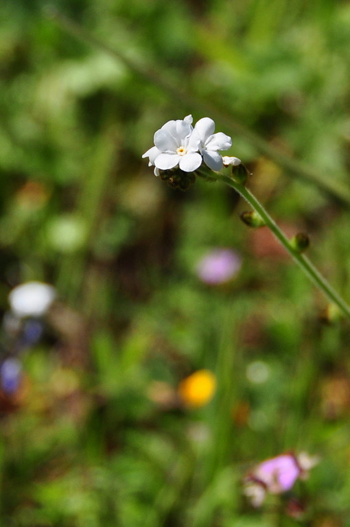 Name: Popcorn Flower (Plagiobothrys sp.)<br /> Location: Harvey Bear Ranch<br /> Date: March 28, 2009