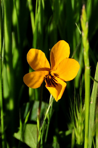 Name: Johnny Jump Up, Yellow Pansy, California Golden Violet (Viola pedunculata)<br /> Location: Harvey Bear Ranch<br /> Date: March 28, 2009