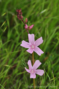 Name: Checkerbloom (Sidalcea malviflora) Location: Harvey Bear Ranch County Park Date: March 7, 2010