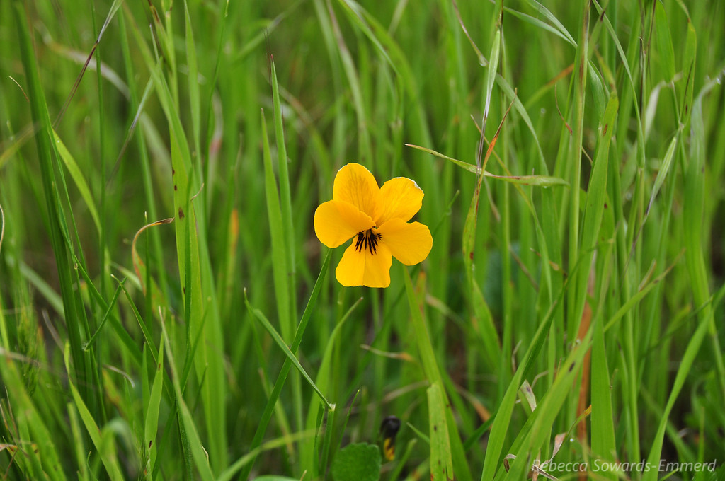 Name: Johnny Jump-Up / Wild Pansy (Viola pedunculata)<br /> Location: Harvey Bear Ranch County Park<br /> Date: March 7, 2010