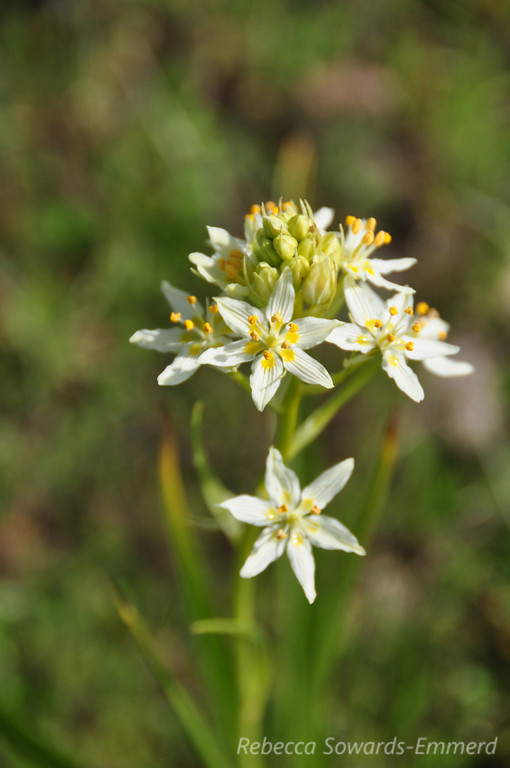 Name: Star Lily (Zigadenus fremontii)<br /> Location: Harvey Bear County Park<br /> Date: March 7, 2010