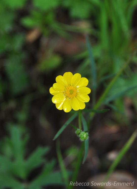 Name: California Buttercup (Ranunculus californicus)<br /> Location: Harvey Bear County Park<br /> Date: March 7, 2010