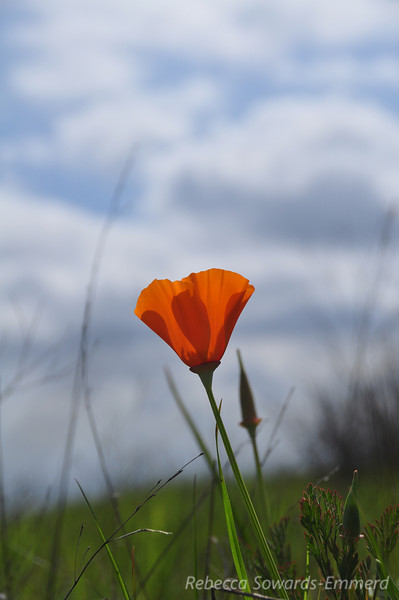 Name: California Poppy (Eschscholzia californica)<br /> Location: Harvey Bear County Park<br /> Date: March 7, 2010