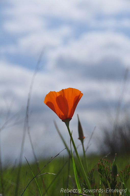 Name: California Poppy (Eschscholzia californica)<br /> Location: Harvey Bear County Park<br /> Date: March 7, 2010