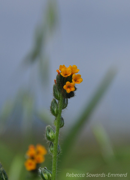 Name: Common Fiddleneck (Amsinckia menziesii var. intermedia)<br /> Location: Harvey Bear County Park<br /> Date: March 7, 2010