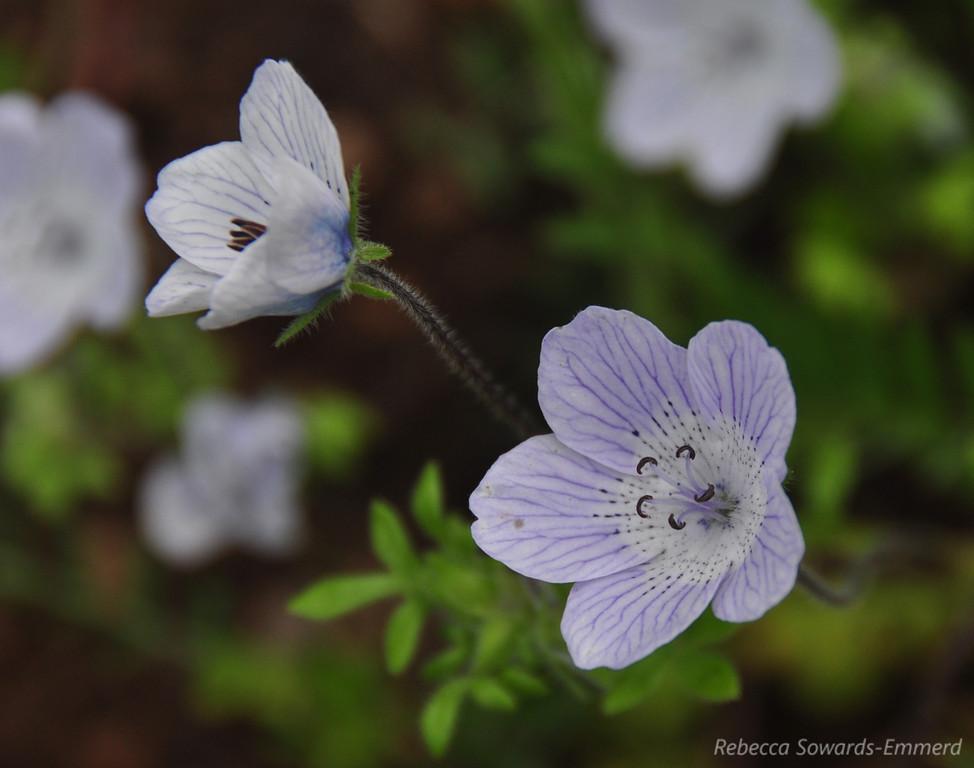 Name: Baby Blue-eyes (Nemophilia menziesii va menziezii)<br /> Location: Harvey Bear County Park<br /> Date: March 7, 2010