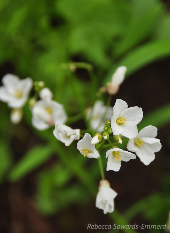 Name: Milkmaids (Cardamine californica)<br /> Location: Harvey Bear County Park<br /> Date: March 7, 2010