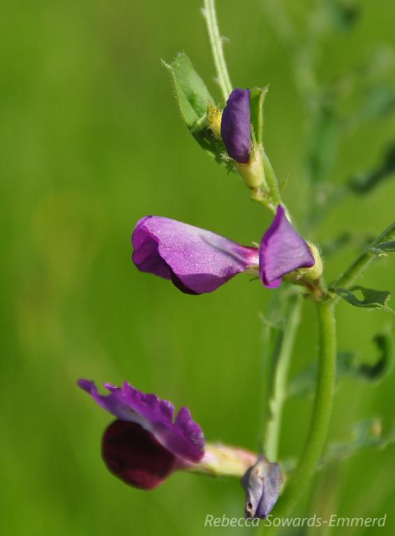 Name: Spring Vetch (Vicia sativa ssp. sativa)<br /> Location: Harvey Bear County Park<br /> Date: March 7, 2010