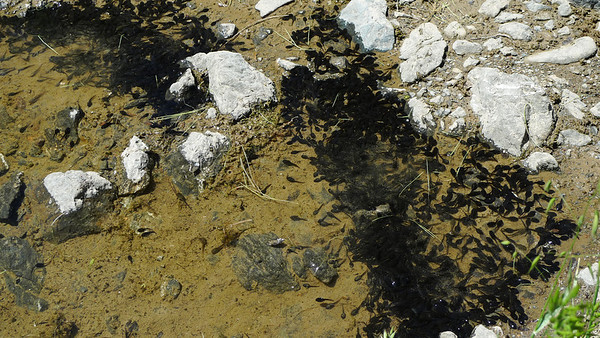 Tadpole swarm! There were hundreds of them at the edge of this water crossing.