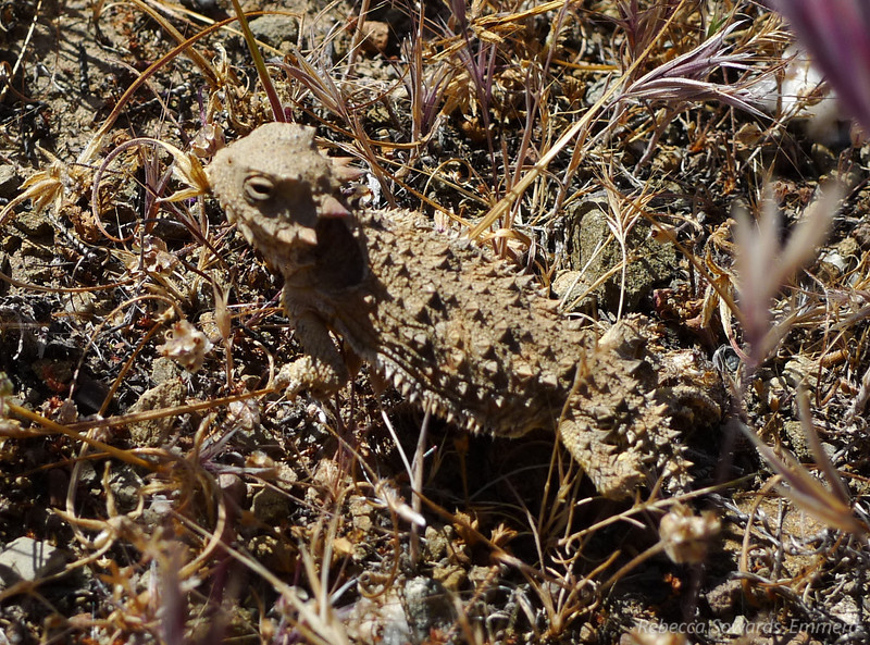 Blurry horny toad. This little dude would not sit still for a photo. They are so cute.