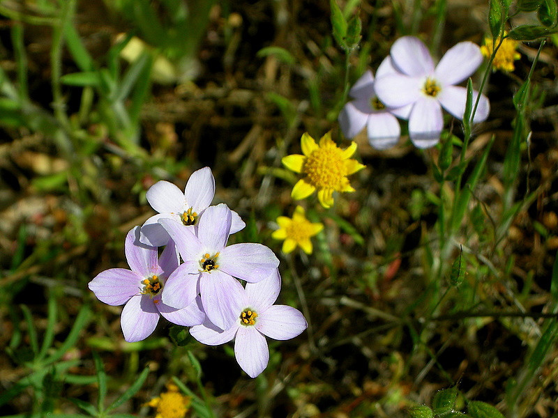 Name: Linanthus, False Baby Stars (Linanthus androsaceus) <br /> Location: Henry Coe State Park, Alquist Trail<br /> Date: April 25, 2009