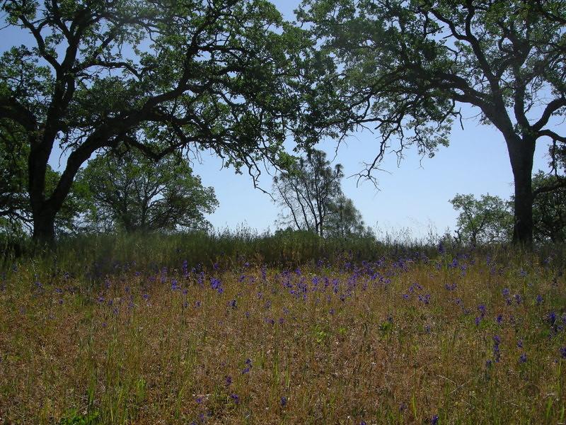 Field of Larkspur