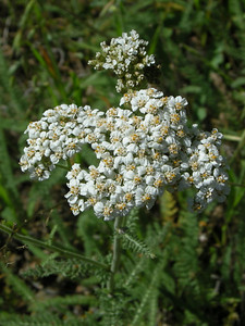 Name: Common Yarrow (Achillea millefolium) Location: Henry Coe State Park, Hartman Trail Date: April 26, 2009