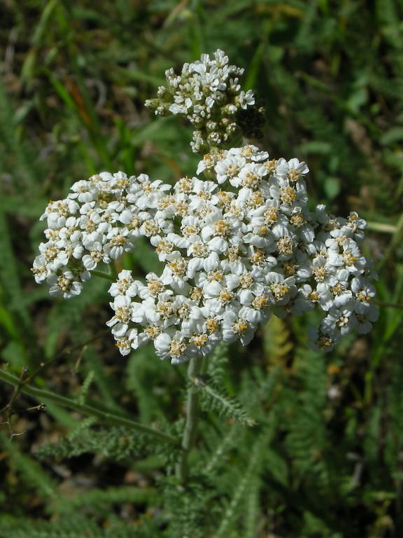 Name: Common Yarrow (Achillea millefolium)<br /> Location: Henry Coe State Park, Hartman Trail<br /> Date: April 26, 2009