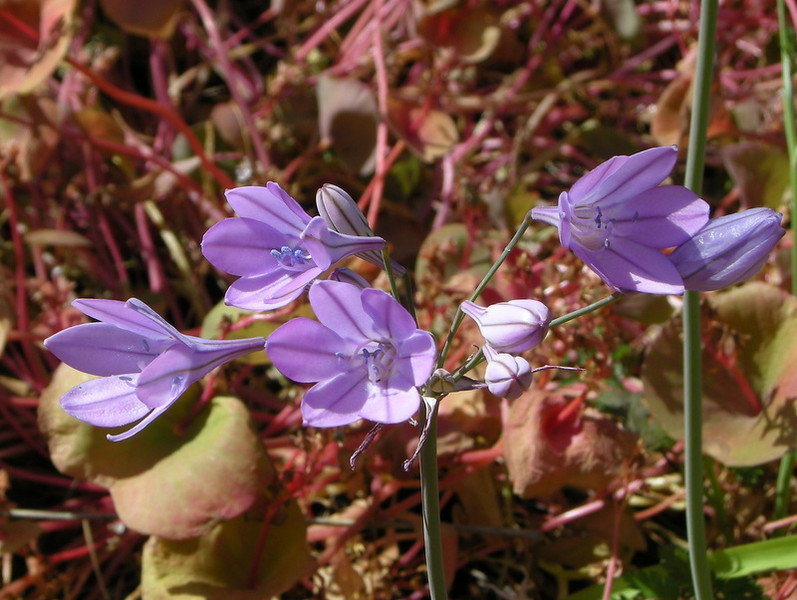 Name: Ithuriel's Spear (Triteleia laxa)<br /> Location: Henry Coe State Park, Alquist Trail<br /> Date: April 25, 2009
