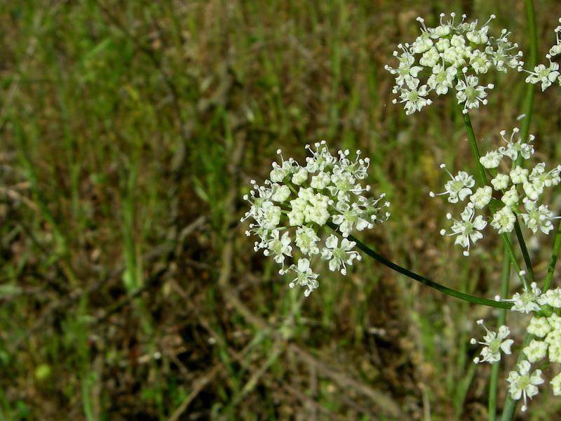 Name: Kellogg's Yampah (Perideridia kelloggii)<br /> Location: Henry Coe State Park, Hartman Trail<br /> Date: April 26, 2009