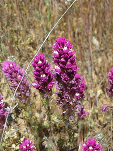 Name: Purple Owl's Clover (Castilleja exserta) Location: Henry Coe State Park, Alquist Trail Date: April 25, 2009