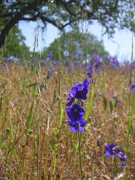 Name: Royal Larkspur (Delphinium variegatum ssp. variegatum)<br /> Location: Henry Coe State Park, Alquist Trail<br /> Date: April 25, 2009