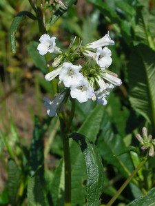 Name: Yerba Santa (Eriodictyon californicum) Location: Henry Coe State Park, Alquist Trail Date: April 25, 2009