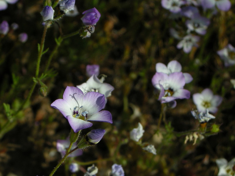 Name: Bird's Eye Gilia (Gilia tricolor)<br /> Location: Henry Coe State Park, Alquist Trail<br /> Date: April 25, 2009