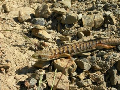An alligator lizard sunning himself on the trail