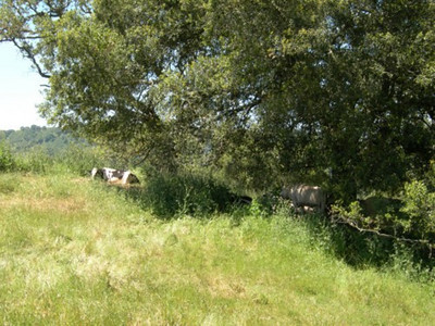 Moo. Grazing land is interspersed within Henry Coe SP
