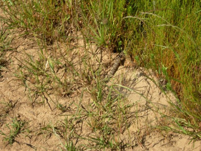 The rattle end of a baby rattlesnake who scooted off the trail as we walked by